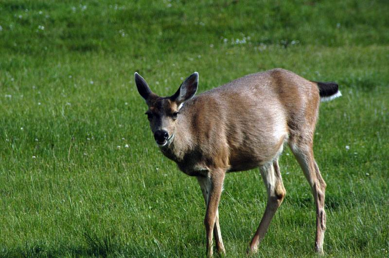 One of four deer we say driving around Whidbey Island.