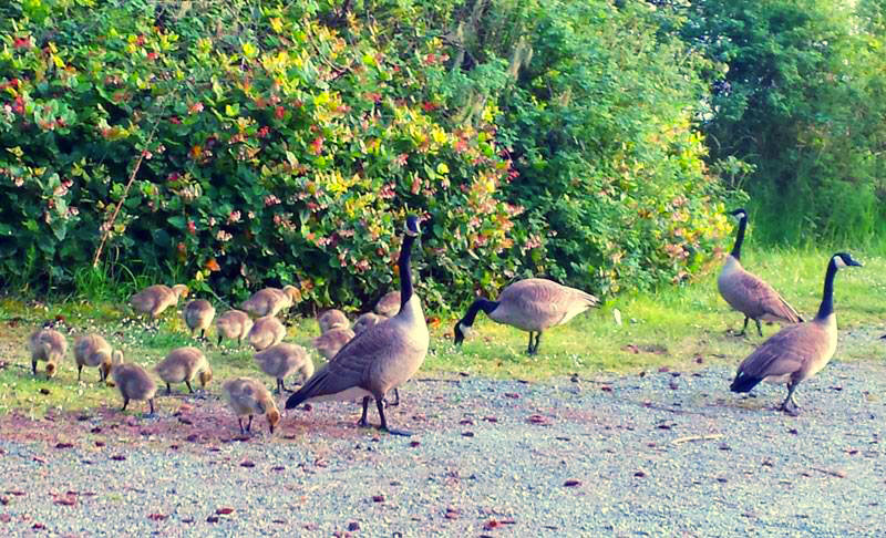 An extended family of ducks walking around in the campground.