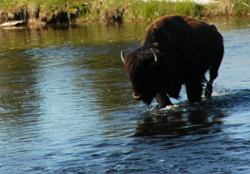 You can't visit Yellowstone without seeing Bison.